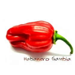 Gambia Habanero Red Chili Seme