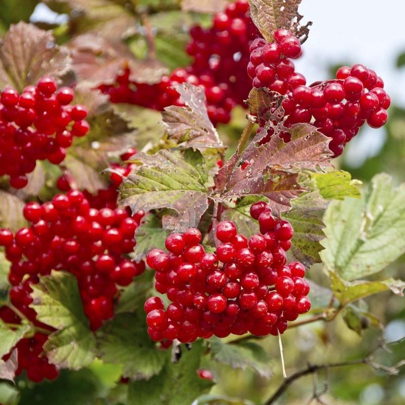 Graines Viorne trilobéeo Pimbina (Viburnum Trilobum) 1.95 - 1