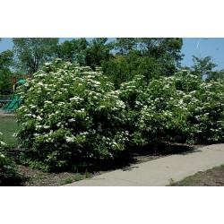 Semi di mirtillo americano (Viburnum trilobum) 1.95 - 4