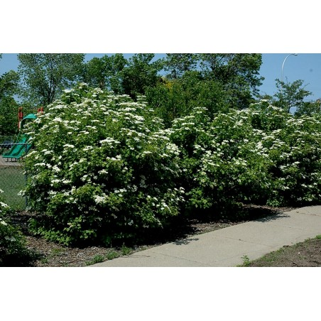 American Highbush Cranberry Seeds Viburnum trilobum Shrub 1.95 - 4