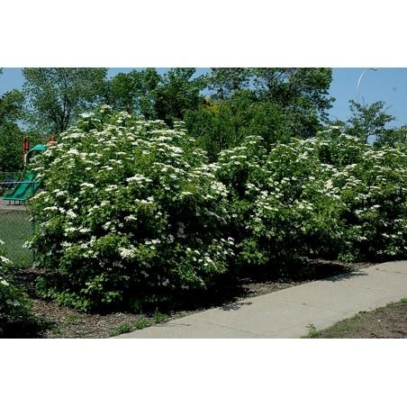 Americka Visoka Brusnica Seme Ukusno Voce (Viburnum trilobum) 1.95 - 4