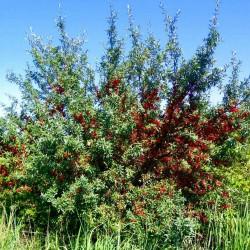 Graines Russet Buffaloberry (Shepherdia canadensis) Rusticité:-40°C 2.75 - 2