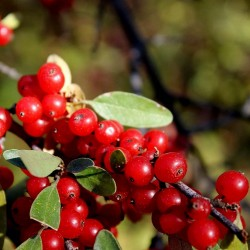 Russet Buffaloberry Seeds (Shepherdia canadensis) 2.75 - 3
