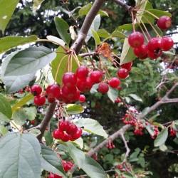 Σπόροι Μήλο Καβούρι Sargent, η Malus sargentii 1.95 - 3