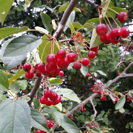 Japanska Jabuka seme bonsai (Malus sargentii) 1.95 - 3