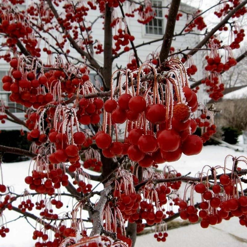Graines Malus sargentii arbre fruits comestibles 1.95 - 1