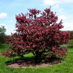 Sargent's Crab apple Seeds (Malus sargentii) 1.95 - 2