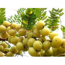 Phyllanthus Emblica Indian Gooseberry Amla Seeds 1.55 - 4