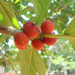 Banjan (träd) Frön 1.5 - 2