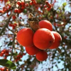 Bengalska Sljiva Seme