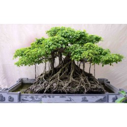 Banyan Tree Seeds 1.5 - 3