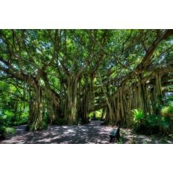 Graines Ficus Benghalensis 1.5 - 4