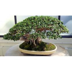 Banjan (träd) Frön 1.5 - 5