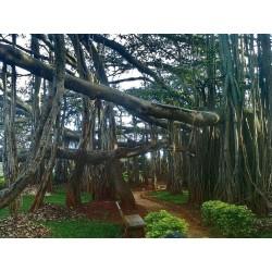 Σπόροι Ficus benghalensis δέντρο 1.5 - 6