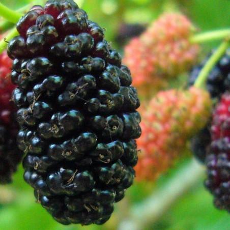 Black Mulberry Seeds (Morus nigra) 1.95 - 2