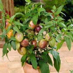 Semillas de Pepino dulce (Solanum muricatum) 2.55 - 2