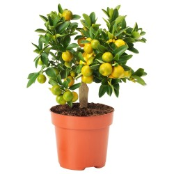 Semi di Calamondino(Citrofortunella microcarpa) 2.65 - 5