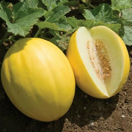 Semillas de Melón Amarillo Canario 1.95 - 2