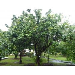 Dimocarpus Longan Seeds 3.5 - 3