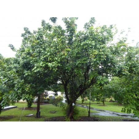 "Graines de Dimocarpus longan ""Oeil de dragon"" 3.5 - 3"