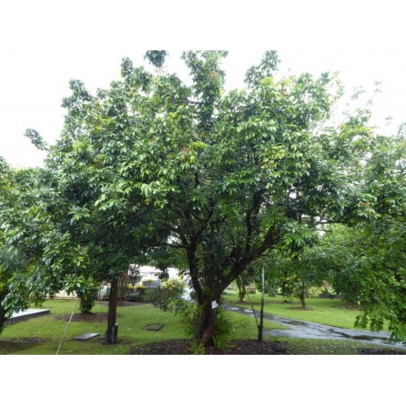 Semi di Dimocarpus longan 3.5 - 3