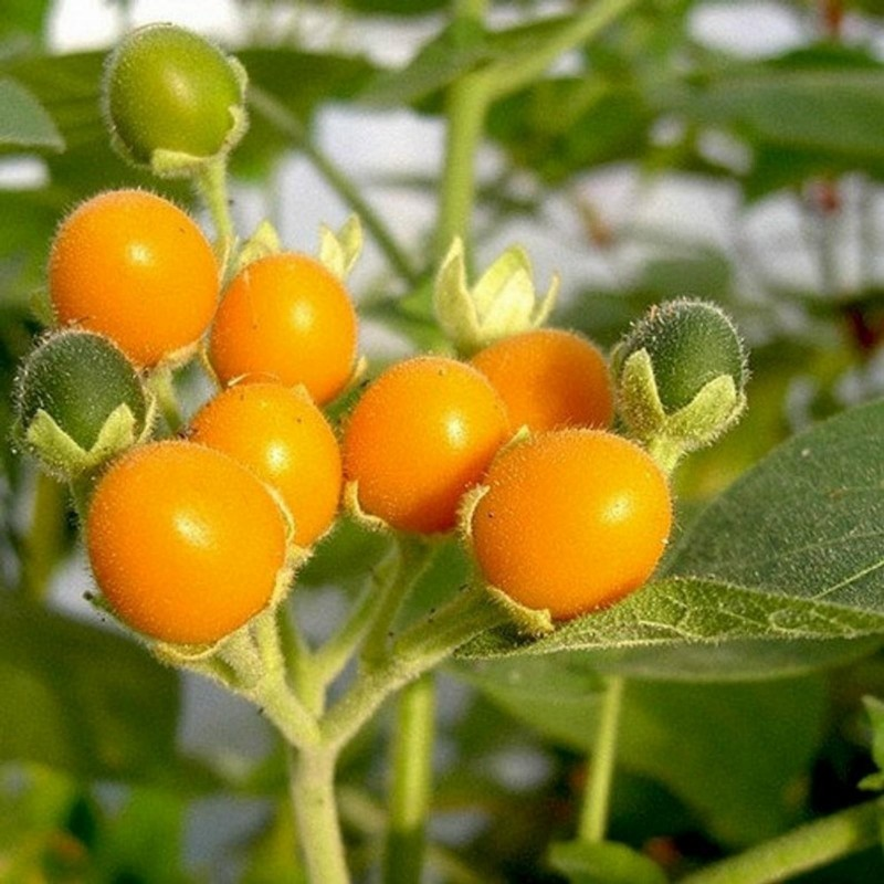 Semillas de Mini Tomate De Arbol Cyphomandra Abutiloides Fruta 2.05 - 5