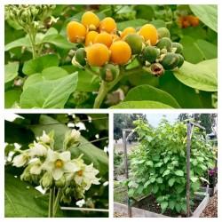 Semillas de Mini Tomate De Arbol Cyphomandra Abutiloides Fruta 2.05 - 3
