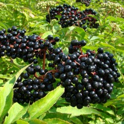Бузина́ чёрная семена (Sambúcus nígra) 1.6 - 3