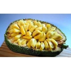 Jackfrukt Frön (Artocarpus heterophyllus) 5 - 6