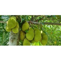 Jackfrukt Frön (Artocarpus heterophyllus) 5 - 8