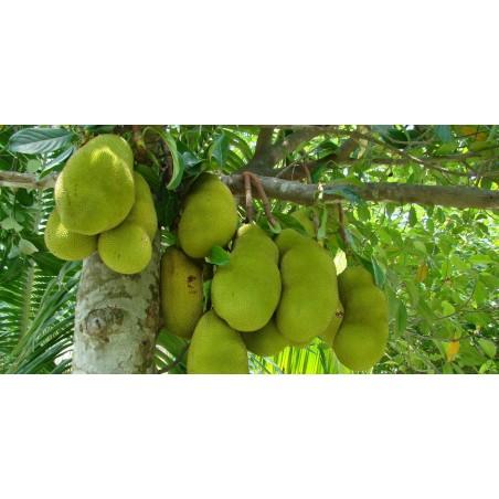 Semillas de El árbol de jack, yaca o panapén (Artocarpus heterophyllus) 5 - 8