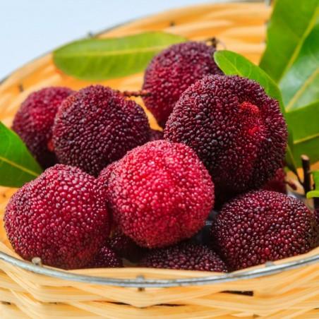 Pappelpflaume Samen chin. Erdbeere (Myrica rubra) 3.5 - 4