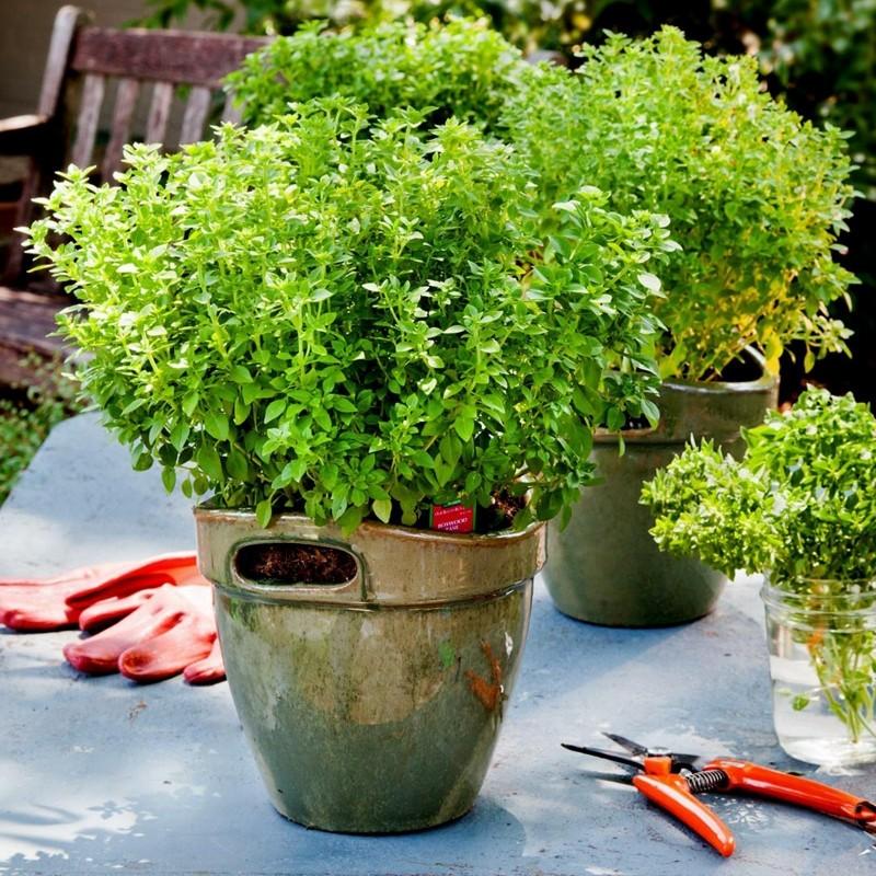 Graines de Basilic Grec (Ocimum basilicum) 1.95 - 1