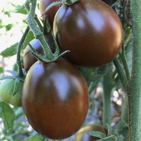 Black Plum Tomato Seeds 2.85 - 4