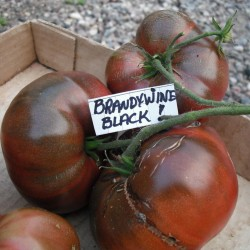BRANDYWINE BLACK Tomato Seeds 1.85 - 1