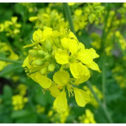 Schwarzer Senf Samen Saatgut (Brassica nigra) 1.45 - 2