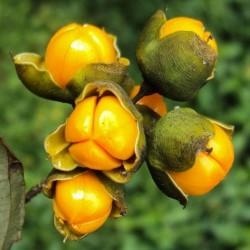 Intellect Tree Seeds - Black Oil Plant 1.85 - 2