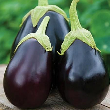 Organic Black Beauty Eggplant Seeds 1.8 - 2