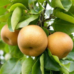 Asian Pear Seeds - Chinese Sand Pear (Pyrus pyrifolia) 3 - 2