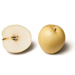 Asian Pear Seeds - Chinese Sand Pear (Pyrus pyrifolia) 3 - 3