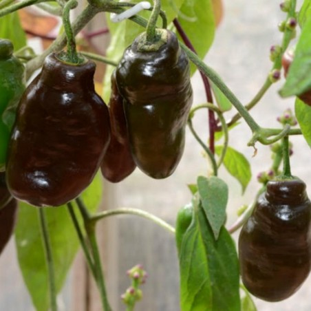 Graines de Piment Rocoto Manzano Brown 2.5 - 2