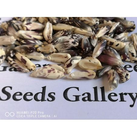 Peruvian Black and White Chulpe Corn Seeds 2.45 - 3