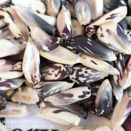Peruvian Black and White Chulpe Corn Seeds 2.45 - 4