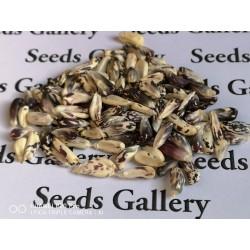 Röstmais - Mais der Anden Schwarz-Weiss Chulpe Samen 2.45 - 5