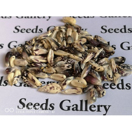 Peruvian Black and White Chulpe Corn Seeds 2.45 - 5