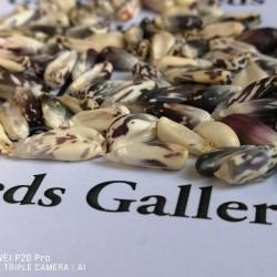 Röstmais - Mais der Anden Schwarz-Weiss Chulpe Samen 2.45 - 2