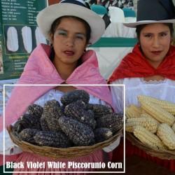 "Peruanska Majs ""K'uyu Chuspi"" Cancha Svart Violett Vit Frön 2.45 - 1"