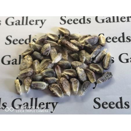 """Mais der Anden Schwarzes Violettes Weiß """"K'uyu Chuspi"""" Samen 2.45 - 3"""