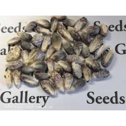 """Semillas de maíz peruano Negro violeta blanco """"K'uyu Chuspi"""" 2.45 - 4"""