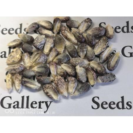 "Peruvian Black Violet White ""K'uyu Chuspi"" Corn Seeds 2.45 - 4"